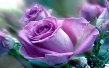 6918163-purple-rose-flower-25605