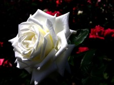 6963681-white-rose-flower