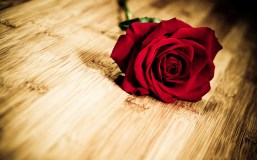 6976579-flower-red-rose