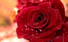 7024347-rose-flower