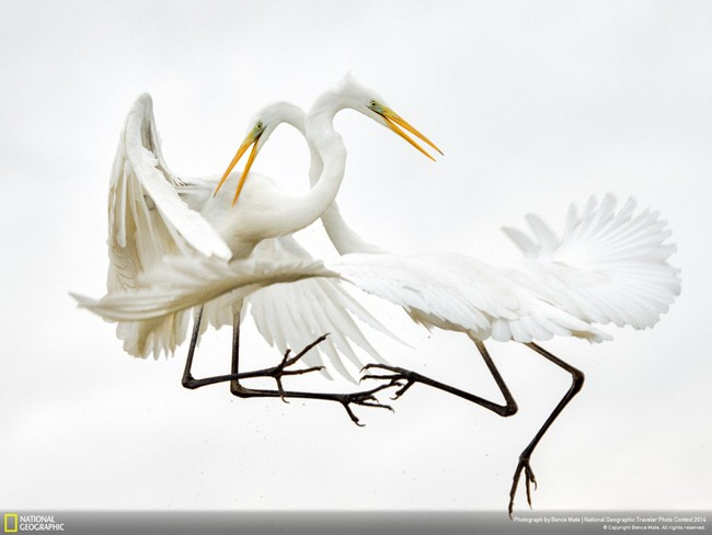 Great-white-Egrets-1024x768