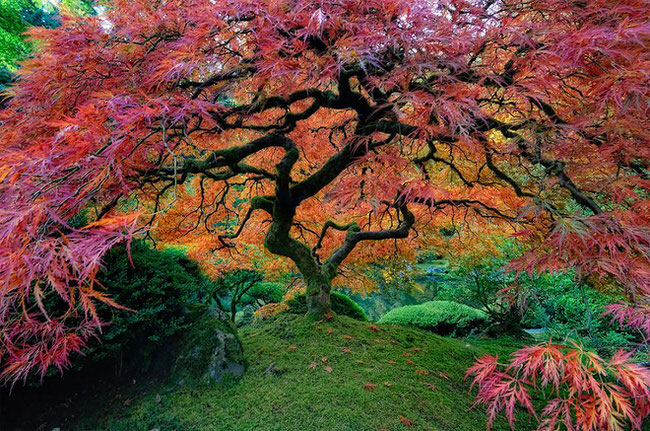 Japanese-Maple-In-Portland-Oregon