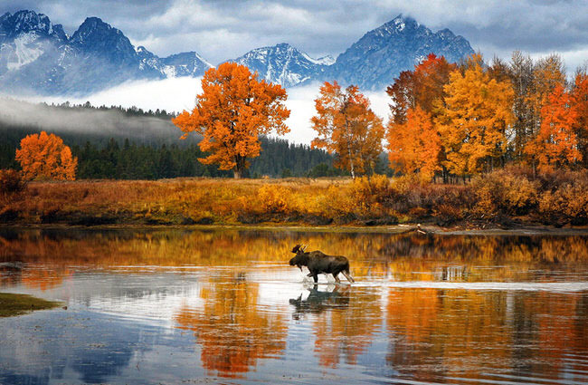Moose in Snake River, Wyoming