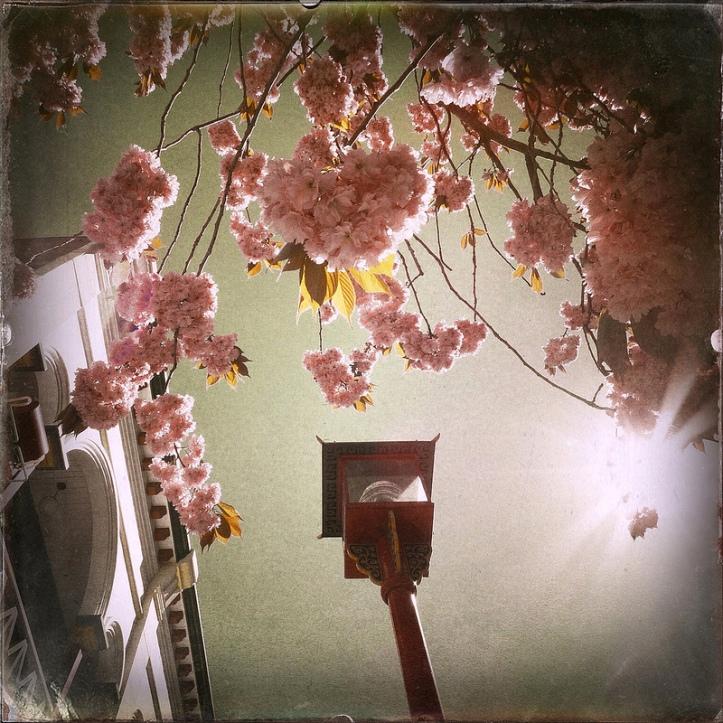 hoa anh đào -3