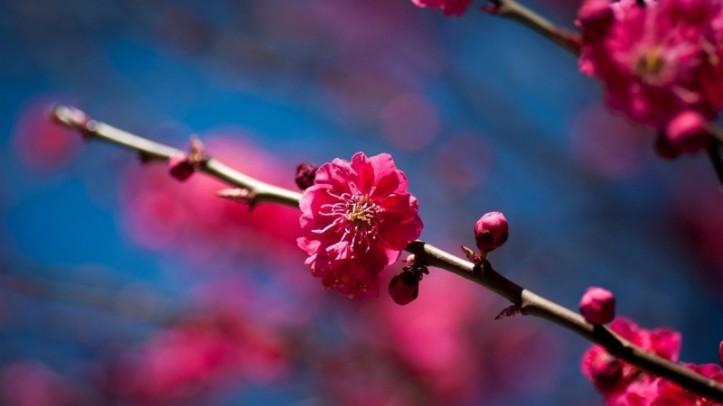 branch-flowers-sakura-spring