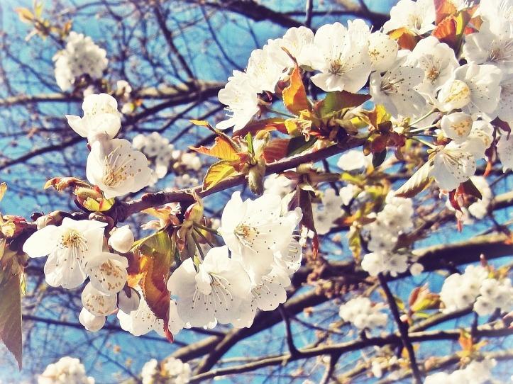 cherry-blossom-770723_1280