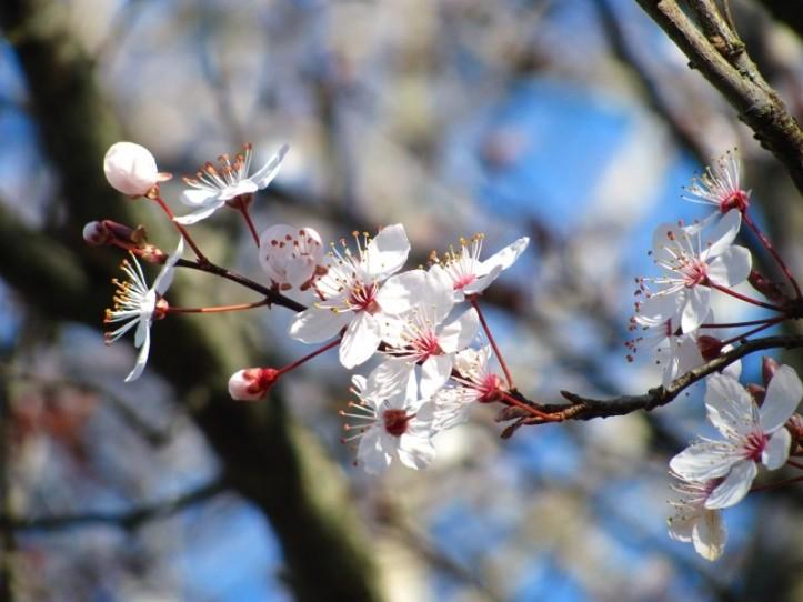 cherry-nature-blossom-spring-flower-sakura
