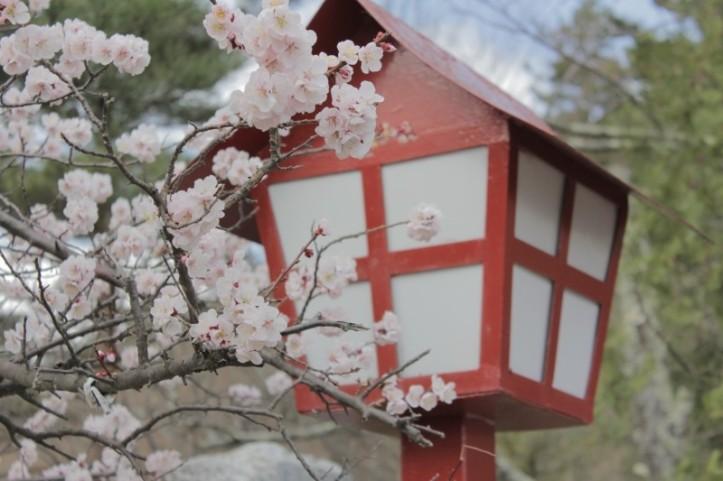 japan-sakura-cherry-blossoms-blossom-nature-spring