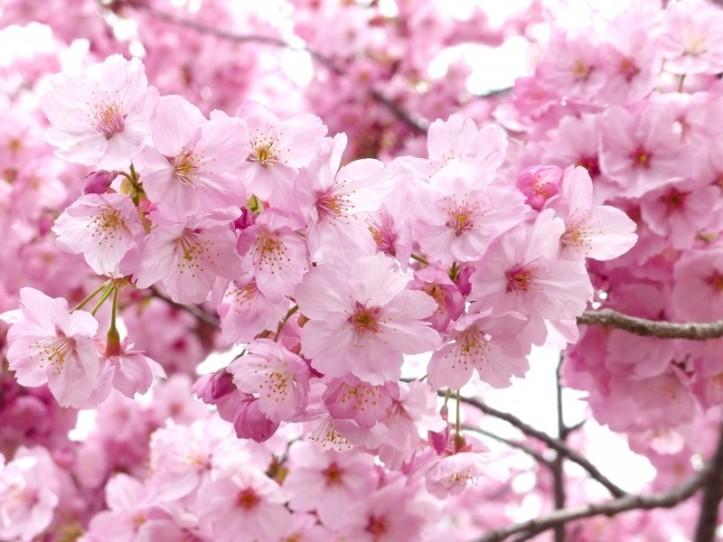 sakura-cheery-blossom-sky-spring-tree-pink-nature